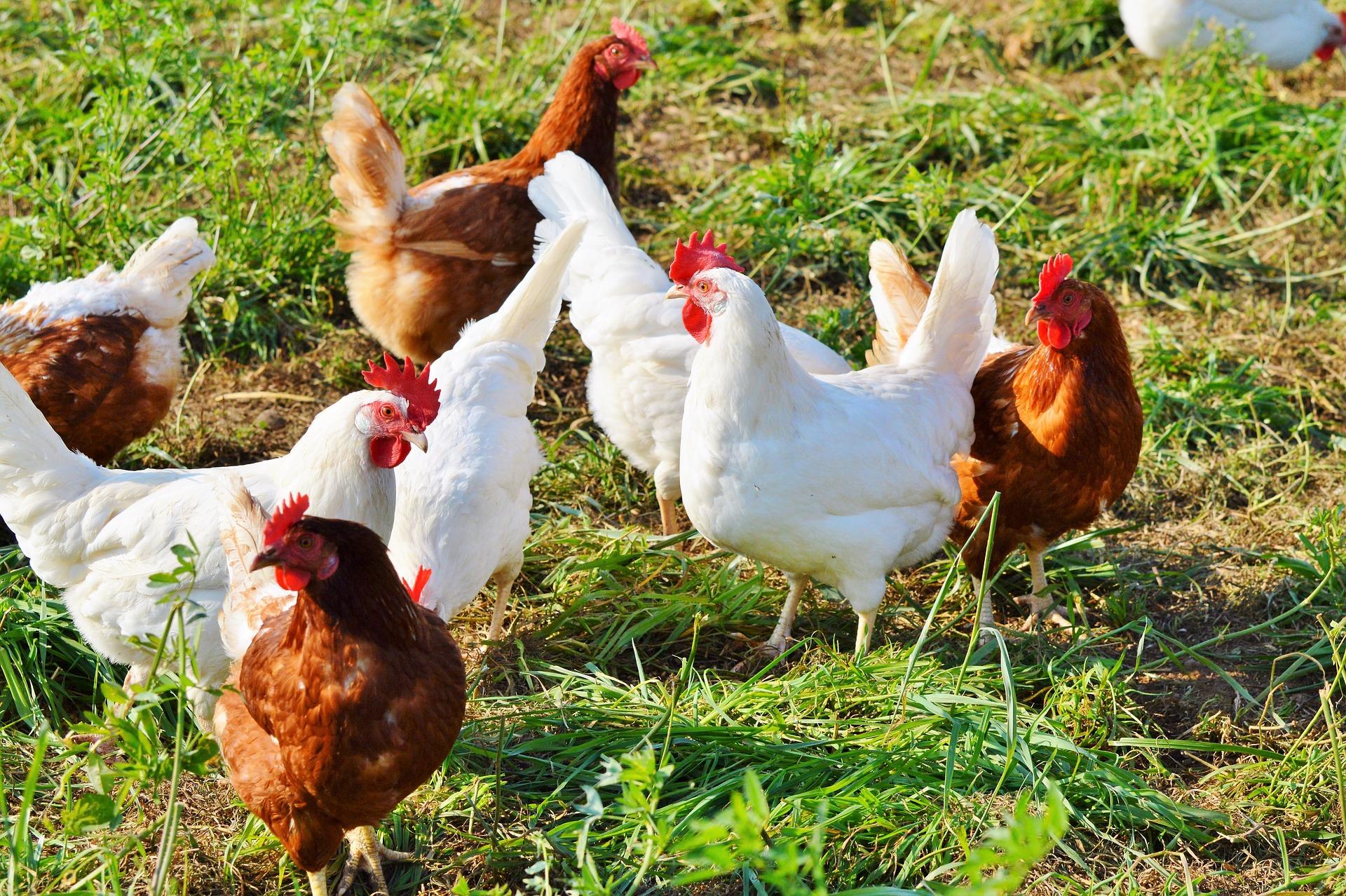 tamme høns
